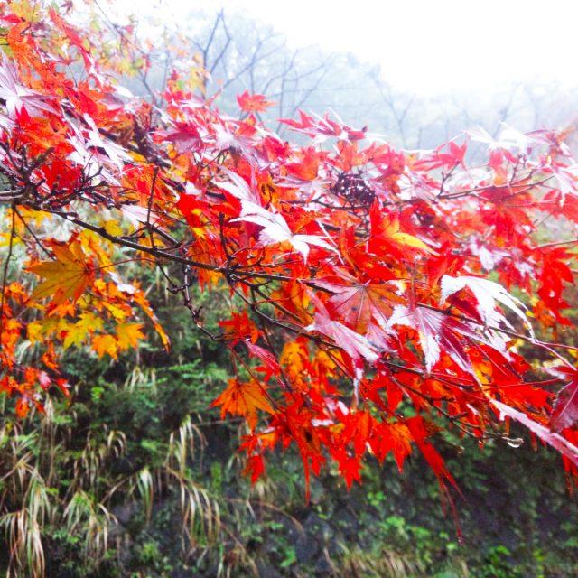 今年の秋は、湯河原町へ紅葉狩りに行きませんか (´∀`)?